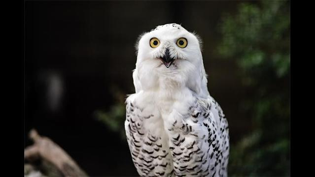 Arctic owls 'irrupt' into Northeast US and beyond