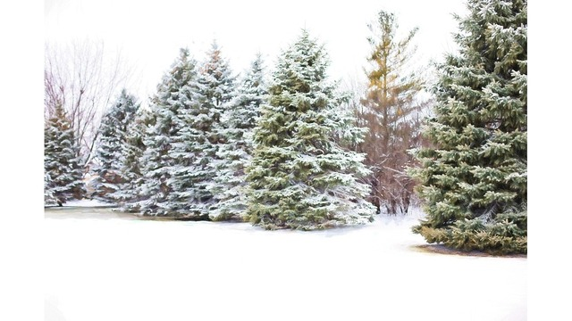 New York State is encouraging residents to buy naturally-cut Christmas Trees