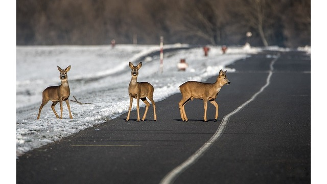 Police: Deer shot illegally jumps out of pickup truck bed