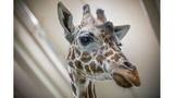 Buffalo Zoo: Agnes the giraffe dies after battling health issues